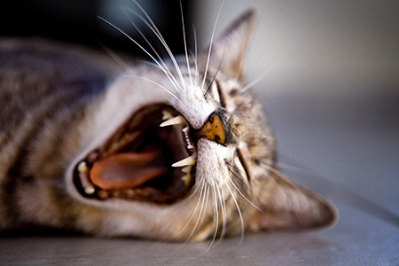 Feline Dentistry at First Vets